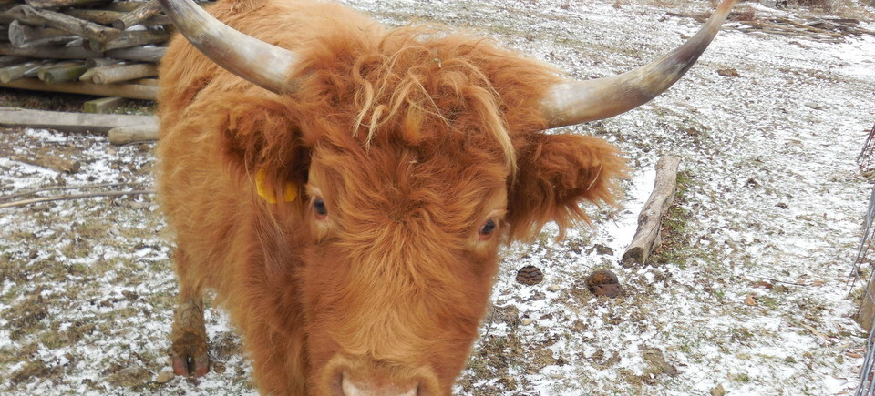 We sell Highland Beef